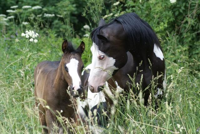American Horse's Valley et ses Paint Horses... Dsc09310