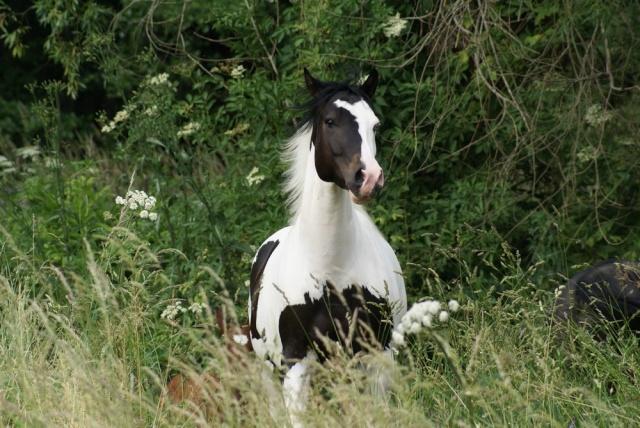 American Horse's Valley et ses Paint Horses... Dsc09312