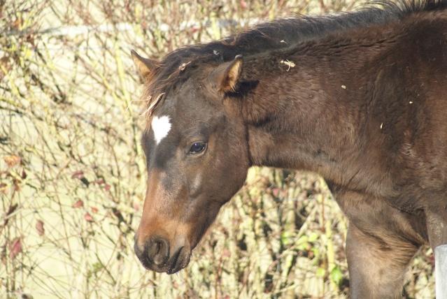 CODY, poulain Paint Horse Dsc09516