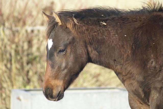 CODY, poulain Paint Horse Dsc09613