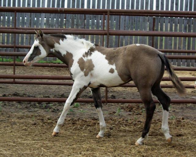 American Horse's Valley et ses Paint Horses... Fashio11