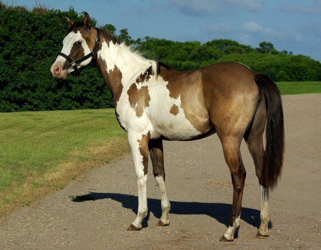 American Horse's Valley et ses Paint Horses... Fashio12