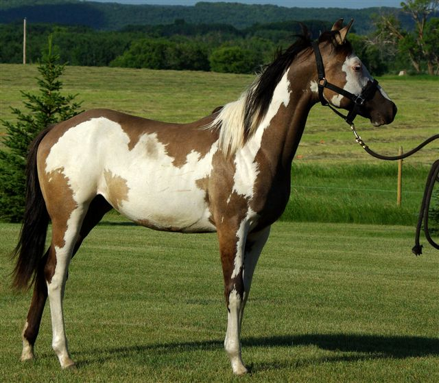 American Horse's Valley et ses Paint Horses... Fashio13