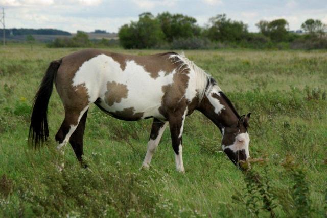 American Horse's Valley et ses Paint Horses... Fashio14