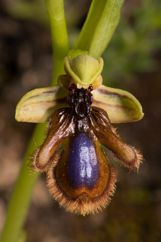 Ophrys vernixia (Ophrys vernissée, Ophrys du Portugal) Dsc_7316