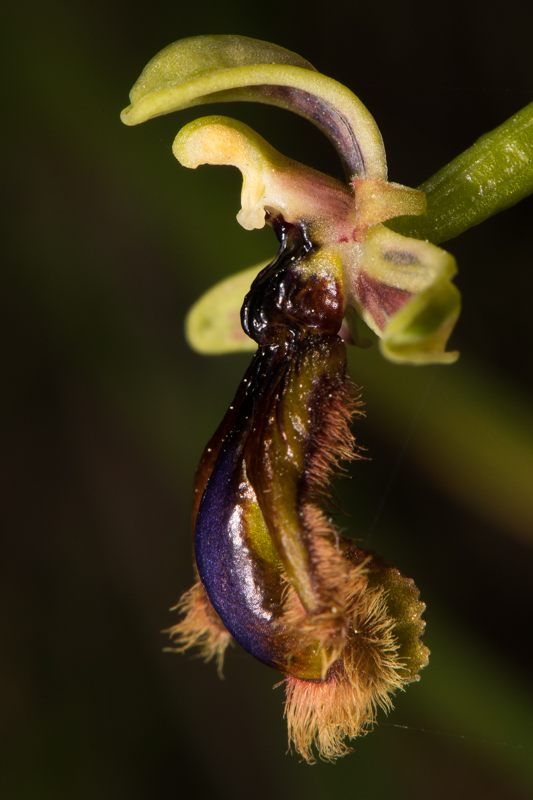 Ophrys vernixia (Ophrys vernissée, Ophrys du Portugal) Dsc_7317
