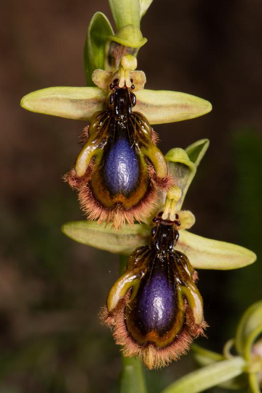 Ophrys vernixia (Ophrys vernissée, Ophrys du Portugal) Dsc_7318