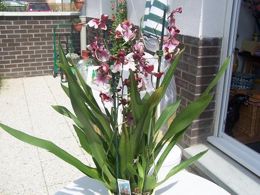Orchidée achetée ce matin par mon doudou (besoin identification) 100_3315
