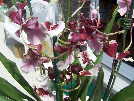 Orchidée achetée ce matin par mon doudou (besoin identification) 100_3316