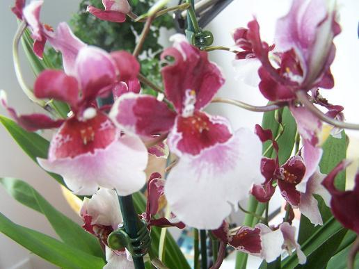 Orchidée achetée ce matin par mon doudou (besoin identification) 100_3319