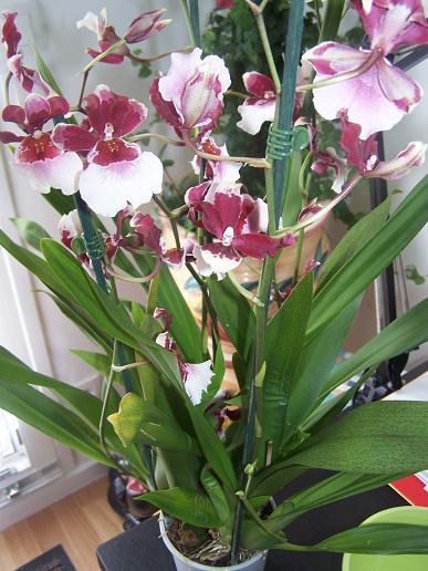 Orchidée achetée ce matin par mon doudou (besoin identification) 100_3321