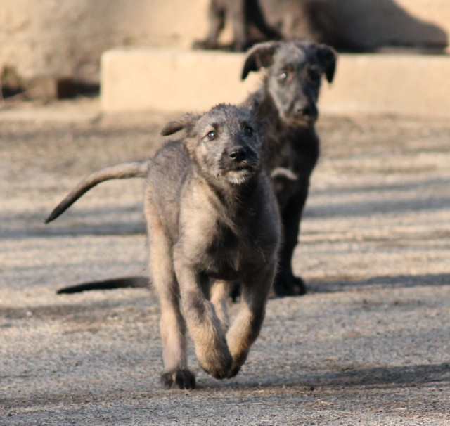 bébés irish wolfhound levrier irlandais LOF Img_0014