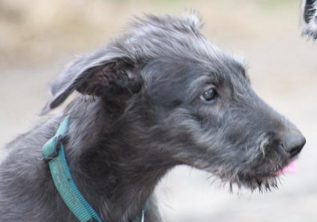 bébés irish wolfhound levrier irlandais LOF Img_0016
