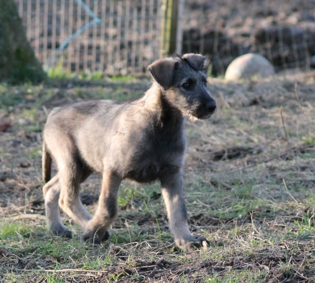bébés irish wolfhound levrier irlandais LOF Img_0119