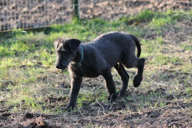 bébés irish wolfhound levrier irlandais LOF Img_0121