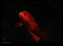 Le Clan des Sthains (numéro 1 - mi-février 2008) Fish210