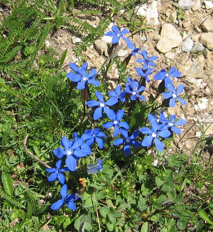 La flore en Haute Tarentaise - Page 2 Fleur310