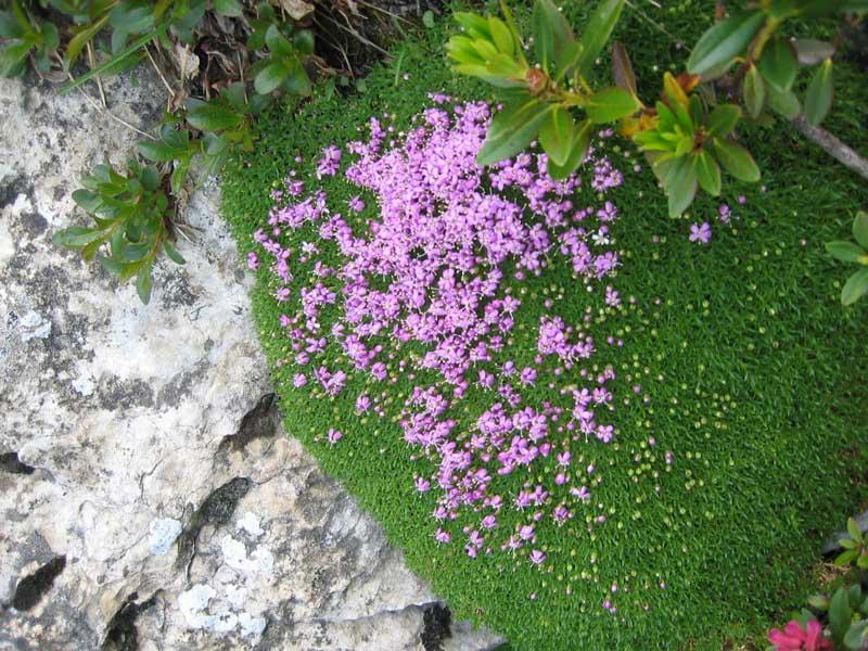 La flore en Haute Tarentaise - Page 2 Fleur610