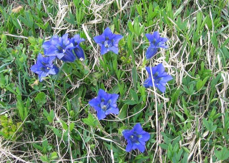 La flore en Haute Tarentaise - Page 2 Fleur710