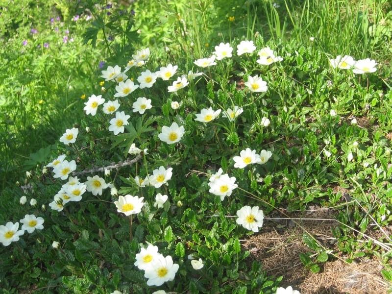 La flore en Haute Tarentaise - Page 2 Fleurs11