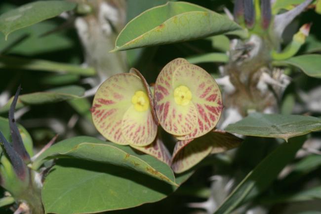 Euphorbia croizatii Bracte11