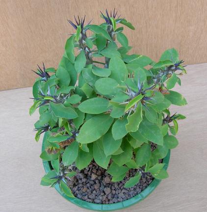 Euphorbia croizatii Dscn1312