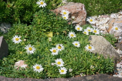 Plantes très faciles Eriger10