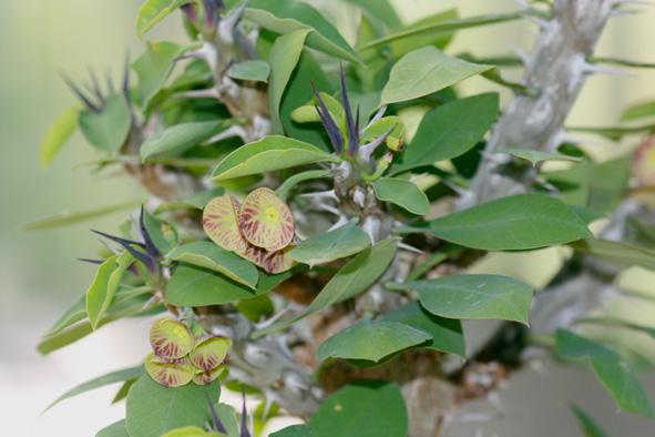 Euphorbia croizatii Img_6711