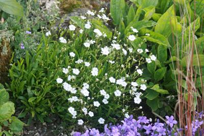 Plantes très faciles Silene10
