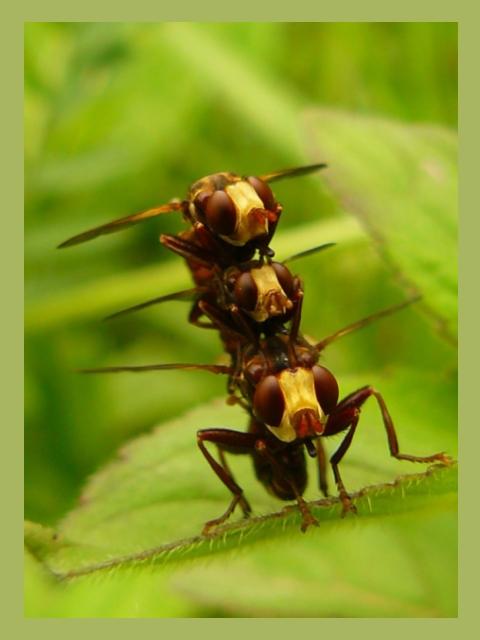 Totem Insecte ?!? Mouche10