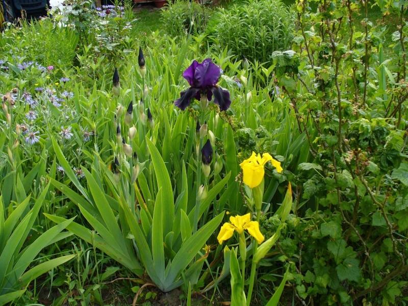 Cultivons notre jardin. Iris410