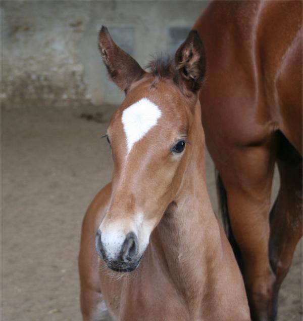 Etalon dressage pour produire cheval de cso/cce ??? 20120559