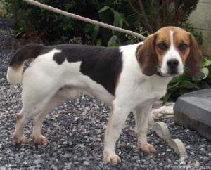 LEO, beagle mâle, 3 ans (59) Leo10