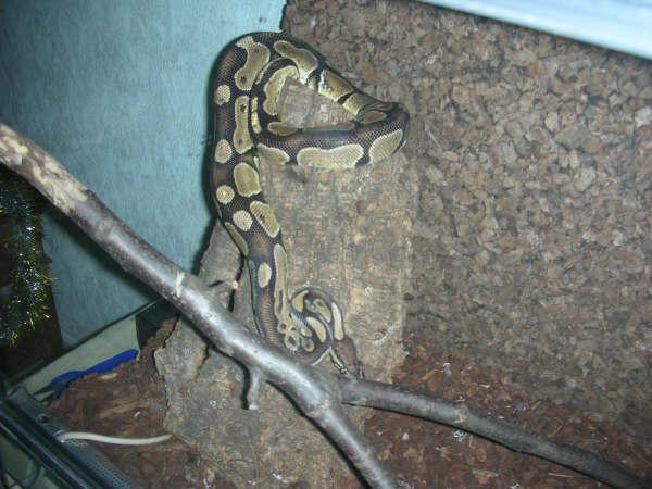 Identification : python? Cauny710