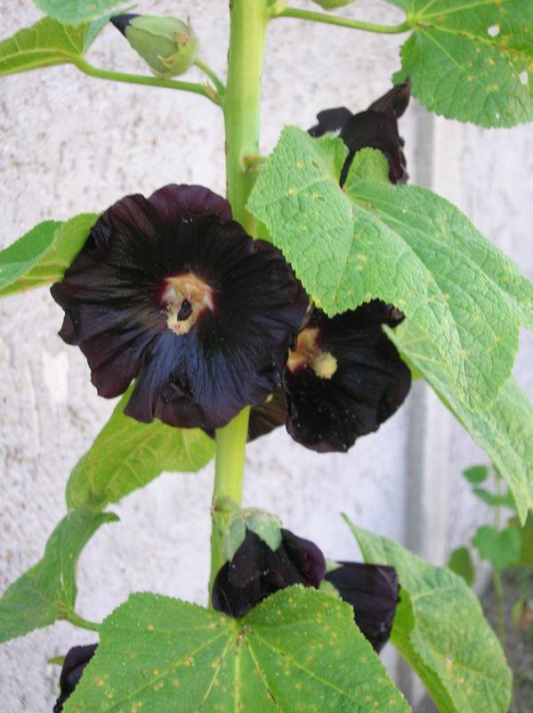 Tout un défi du brun dans mon jardin Rose_t10