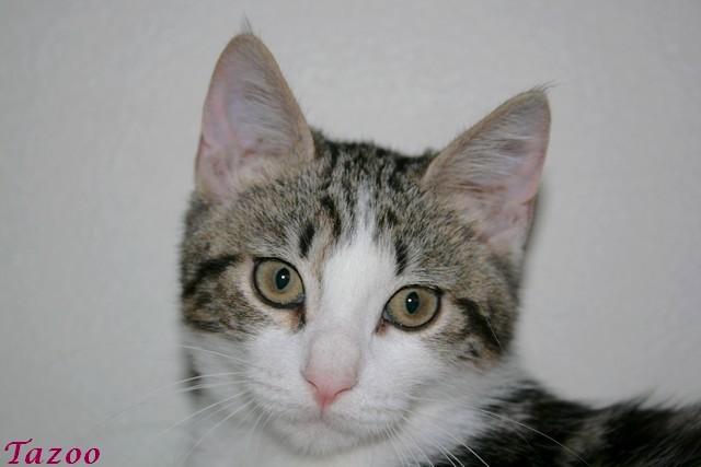 Heiko beau chaton tigré et blanc - BEUVRAGES Img_1010