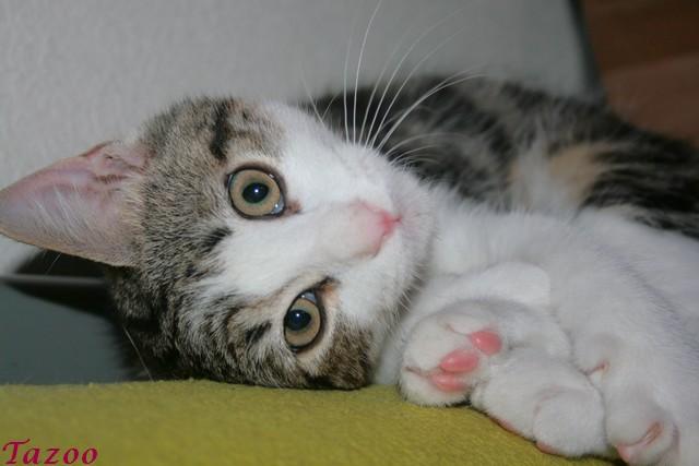 Heiko beau chaton tigré et blanc - BEUVRAGES Img_1011
