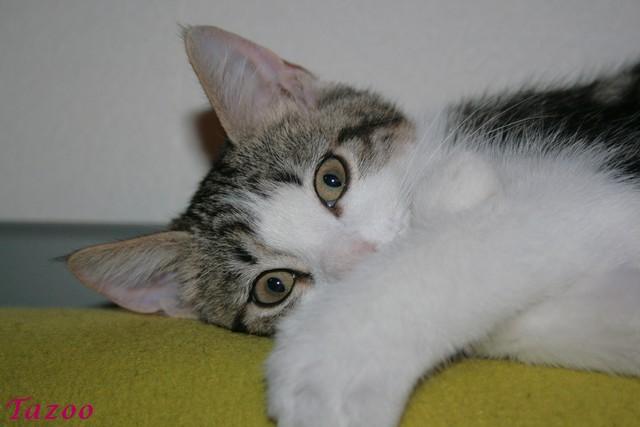 Heiko beau chaton tigré et blanc - BEUVRAGES Img_1012