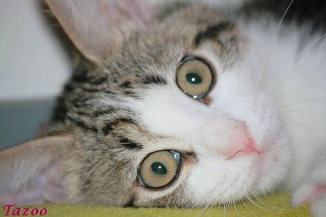 Heiko beau chaton tigré et blanc - BEUVRAGES Img_1013
