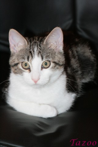 Heiko beau chaton tigré et blanc - BEUVRAGES Img_1110