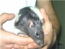 4 ratous du sauvetage des 34 rats Cappi10