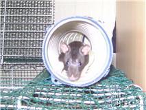 4 ratous du sauvetage des 34 rats Cappi_10