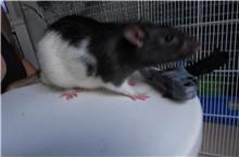 4 ratous du sauvetage des 34 rats Cappi_14