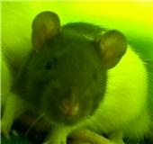 4 ratous du sauvetage des 34 rats Cappi_17