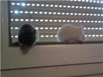 4 ratous du sauvetage des 34 rats Cappi_18