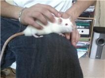 4 ratous du sauvetage des 34 rats Nestae11