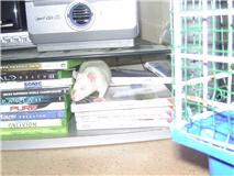 4 ratous du sauvetage des 34 rats Nesty10
