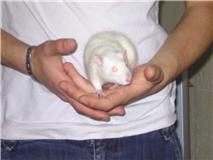 4 ratous du sauvetage des 34 rats Nesty_10