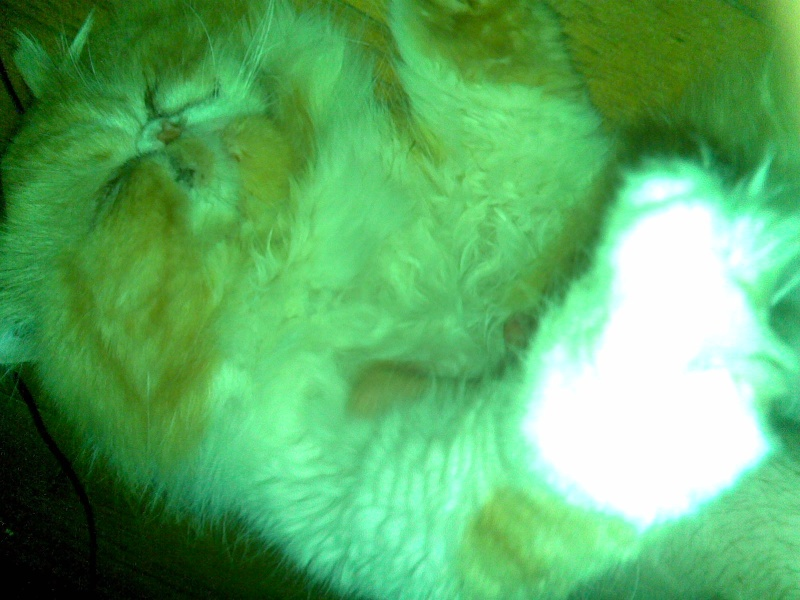 URGENT   Apollon , persan roux et blanc de trois ans FIV+ Photo_44