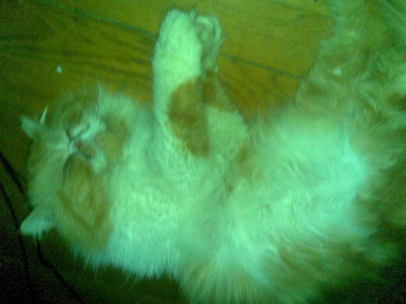 URGENT   Apollon , persan roux et blanc de trois ans FIV+ Photo_45